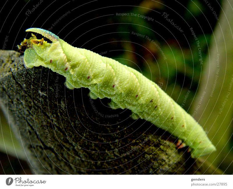 greenhorn grün Schmetterling Larve Raupe Makroaufnahme Detailaufnahme Horn