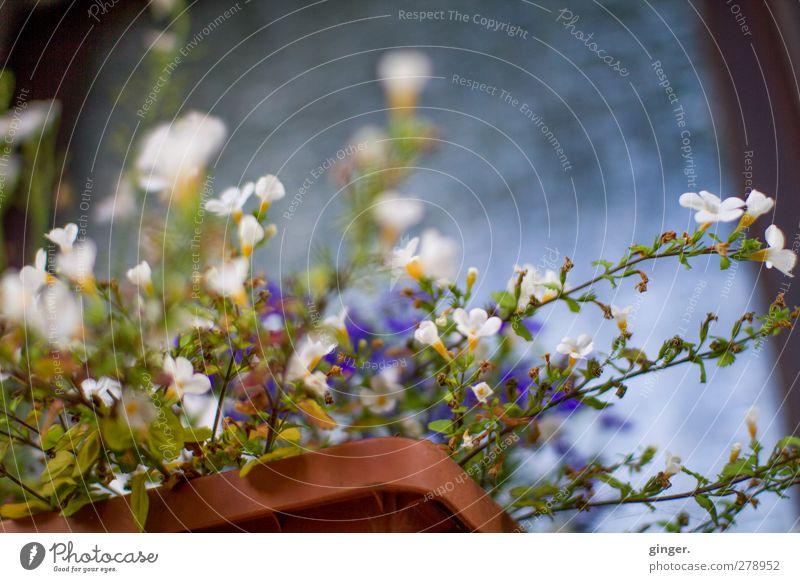 Back from Canada - mit Blümchen aus Deutschland Umwelt Natur Pflanze Sommer Blume Topfpflanze Blühend Wachstum Blüte Blumenkasten schön unordentlich bewachsen