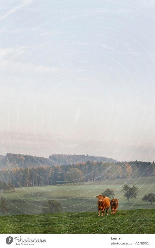 Kleinfamilie Umwelt Natur Landschaft Himmel Wolken Herbst Schönes Wetter Baum Gras Wiese Feld Wald Hügel Tier Nutztier Kuh 2 Tierjunges Tierfamilie stehen Weide