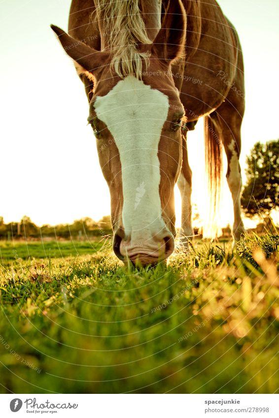 The golden horse Natur Sommer Tier Landschaft gelb Umwelt Wiese Gras braun Feld Schönes Wetter Warmherzigkeit Pferd sportlich Fressen Nutztier