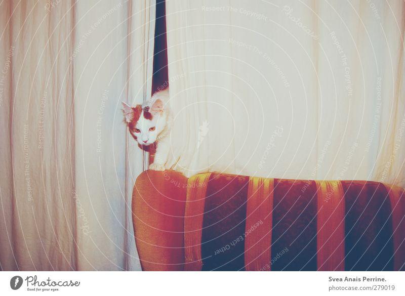 retro tiger. Katze Tier beobachten retro Neugier Sofa Vorhang Haustier Gardine Sessellehne