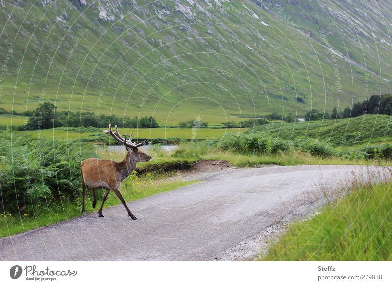 give way Natur Sommer Landschaft ruhig Tier Freiheit gehen wild Idylle Wildtier Verkehr frei Gelassenheit Vertrauen Fußgänger Schottland