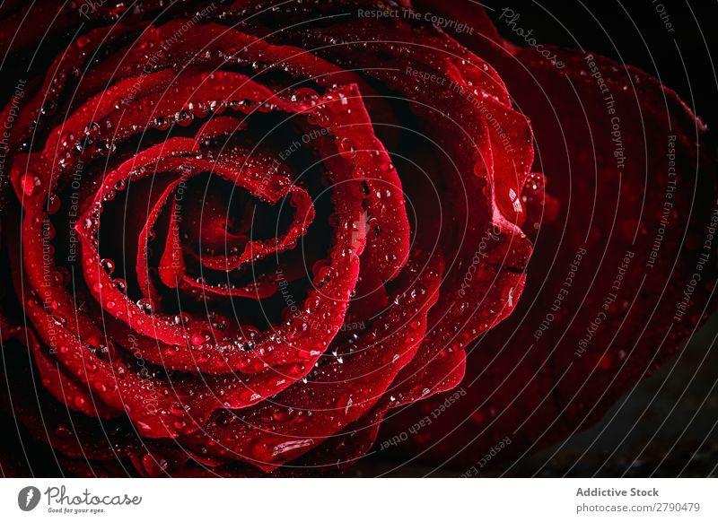 Rote Rosen mit dunklem Hintergrund rosa Blume Hintergrundbild dunkel Postkarte Blütenblatt rot Valentinsgruß Jahrestag Feste & Feiern Liebe Romantik natürlich
