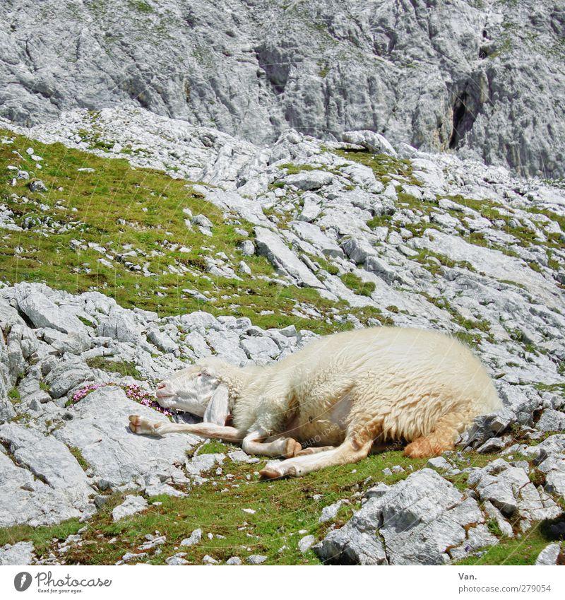 Mittagsschlääähfchen Natur Sommer Gras Felsen Alpen Berge u. Gebirge Tier Nutztier Fell Schaf 1 schlafen grau ausruhend Mittagsschlaf Farbfoto mehrfarbig