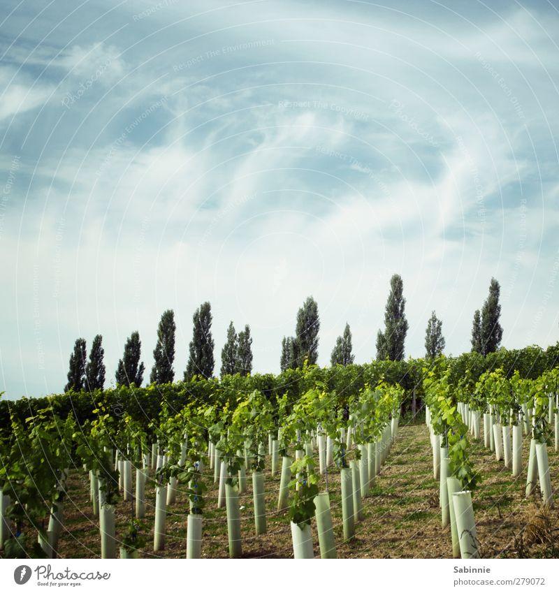 Fränkischer Weinberg #02 Umwelt Natur Landschaft Erde Himmel Wolken Sonne Sommer Klima Schönes Wetter Pflanze Nutzpflanze Pappeln Ordnung Hecke Feld Hügel