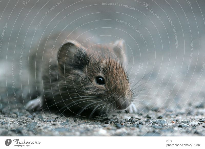 mausgrau Umwelt Natur Tier Wildtier Maus 1 Stein Beton klein niedlich braun achtsam Interesse Angst Auge Kinderaugen Ohr Schnauze Kopf winzig Schnurrhaar