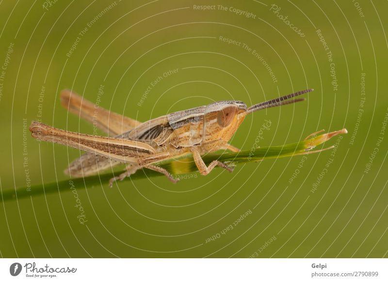Makro einer kleinen braunen Heuschrecke schön Sommer Garten Umwelt Natur Pflanze Tier Blume Gras Blatt Antenne groß natürlich wild grün Farbe Insekt Tierwelt