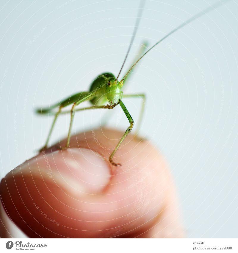 Mister Schreck Tier 1 grün Heuschrecke sanft Tierfuß Fühler klein Insekt gartenbewohner Finger schön Farbfoto Innenaufnahme Nahaufnahme Detailaufnahme
