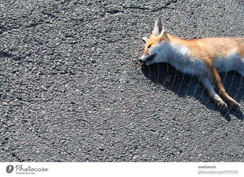 letzte ruhe Straße Tier Wildtier Totes Tier Fell Pfote Fuchs 1 elegant frei kuschlig natürlich schön grau orange weiß Mitgefühl Traurigkeit Tod Müdigkeit
