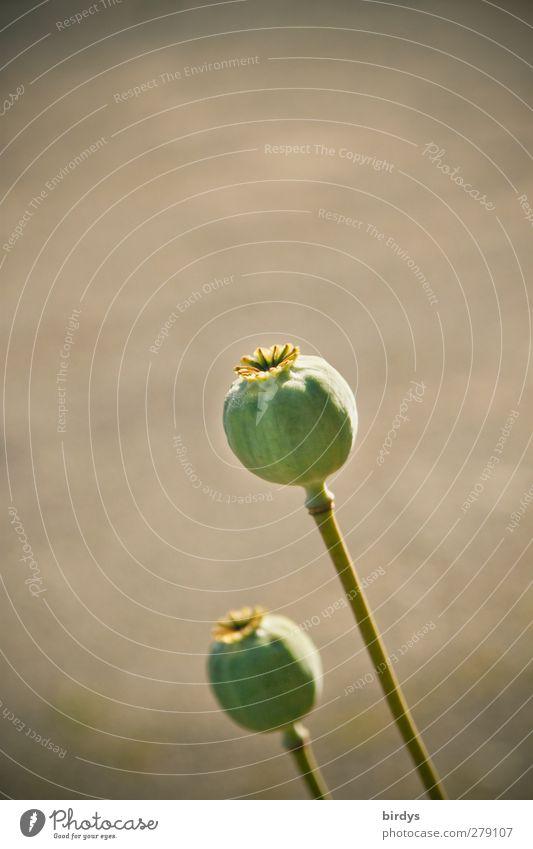Rauschkugeln Sommer Pflanze Schlafmohn Fruchtstand Samen ästhetisch authentisch natürlich rund grau grün Natur Rauschmittel Lebensmittel reif 2 Farbfoto