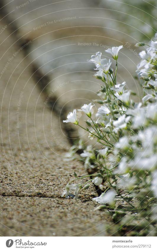 Spaziergang..... Umwelt Natur Pflanze Sommer Schönes Wetter Blume Blatt Blüte Grünpflanze Wildpflanze Stein Duft dünn authentisch einfach natürlich Wärme wild
