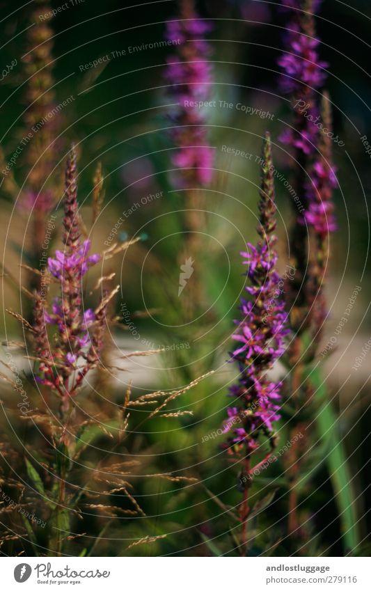abends. Natur grün schön Sommer Pflanze Blume Erholung Umwelt Blüte Garten Stimmung natürlich Freizeit & Hobby Idylle Vergänglichkeit violett