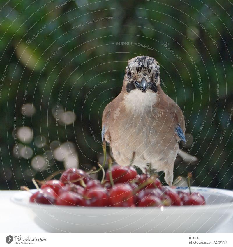 Kirschenkosten Lebensmittel Frucht Wildtier Vogel Eichelhäher 1 Tier Kunststoff beobachten sitzen frei lecker Neugier blau braun grün rot weiß Farbfoto