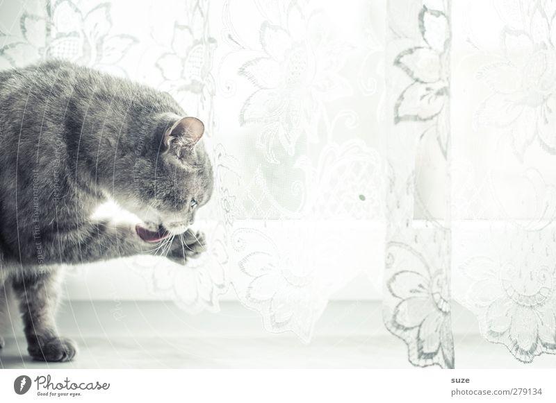 Leckerli Katze Tier Fenster grau hell sitzen authentisch niedlich Reinigen weich Fell Haustier sanft Pfote Gardine tierisch