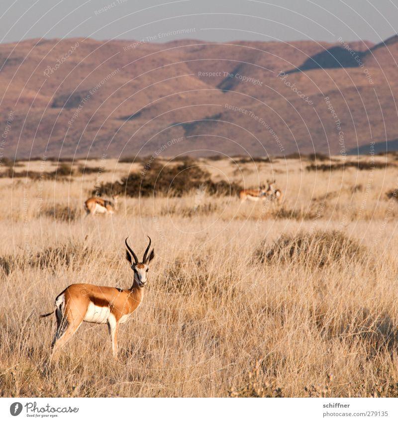 Erneutes dekoratives Rumstehen Natur Tier Landschaft Umwelt Gras Wildtier Tiergruppe Schönes Wetter Wüste Stranddüne Düne Herde Steppe Safari Rudel