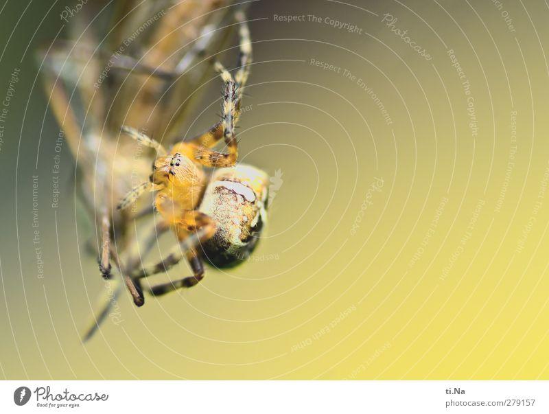 Kreislauf des Lebens Natur Tier Garten Wiese Wildtier Spinne Kreuzspinne Schnake Insekt fangen Jagd Ekel gruselig schön klein feminin wild braun gelb grün Tod
