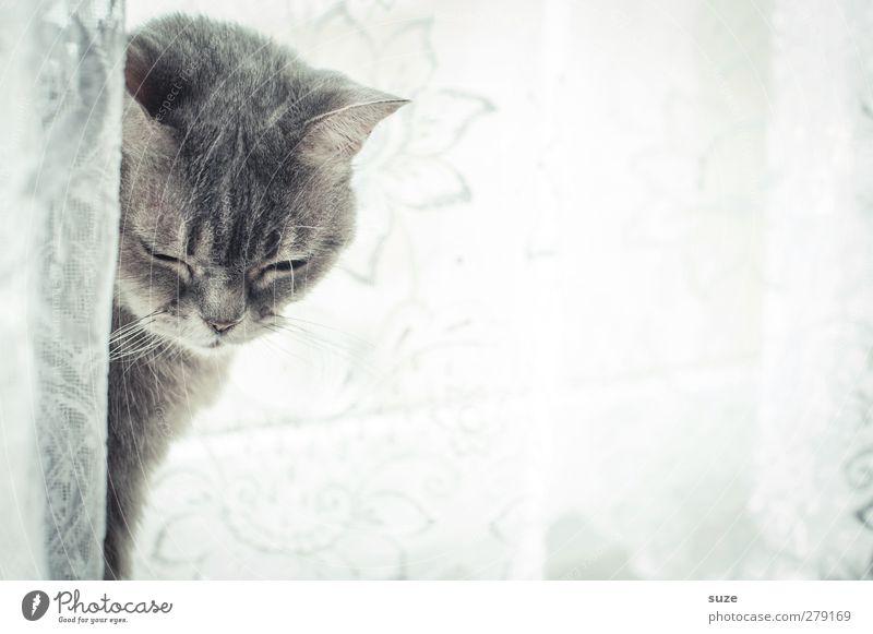Mojo nickt langsam weg Erholung Tier Fenster Fell Haustier Katze 1 authentisch hell niedlich weich grau Langeweile Müdigkeit Hauskatze sanft Gardine