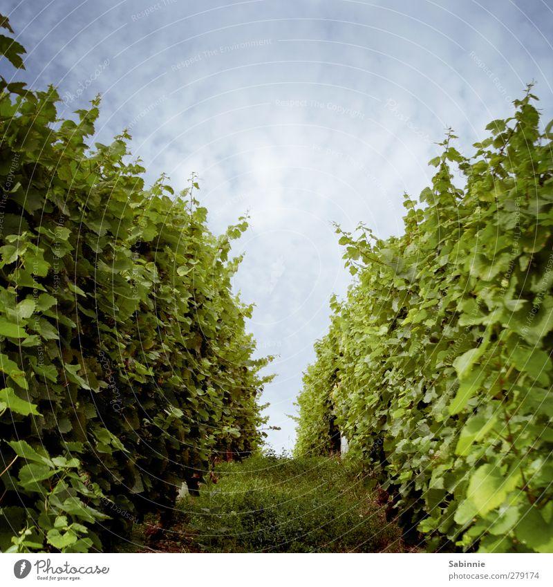 Fränkischer Weinberg #03 Umwelt Natur Landschaft Erde Himmel Wolken Sonne Sommer Klima Schönes Wetter Pflanze Nutzpflanze Ordnung anpflanzen Wege & Pfade Feld