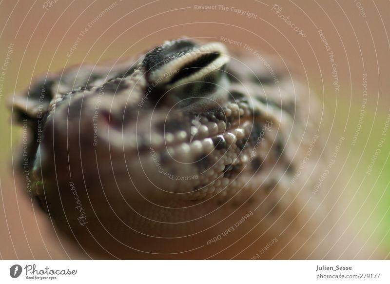 Echse Tier Tiergesicht Zoo grün Echte Eidechsen Reptil rau Haut Hautfalten Unschärfe Schwache Tiefenschärfe kleine Blende Außenaufnahme