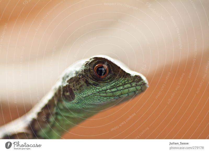 Reptil im Portrait Tier außergewöhnlich Tiergesicht Zoo Echsen Echte Eidechsen Augenfarbe Echsenauge