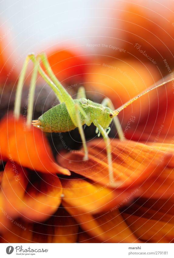 Grashüpfer Pflanze Tier Blume Garten 1 grün orange Heuschrecke Insekt klein Fühler tierbeine Gerbera Farbfoto Außenaufnahme Nahaufnahme Detailaufnahme