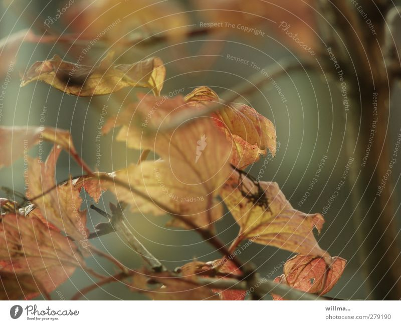 sanftes vergehen Natur Pflanze Baum Blatt Herbst Vergänglichkeit Herbstlaub welk verblüht Zweige u. Äste dehydrieren