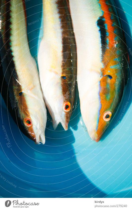 Freitag - Fischtag Teller Angeln Meerjunker 3 Tier authentisch exotisch schleimig schön Appetit & Hunger Farbe genießen nachhaltig Beute Coris julis Totes Tier