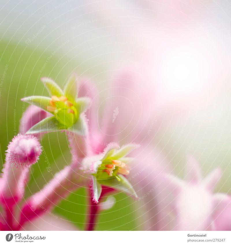 Rosa Natur Pflanze Frühling Sommer Blume Blüte exotisch schön Botanischer Garten Dekoration & Verzierung Blütenpflanze Farbfoto Nahaufnahme Detailaufnahme