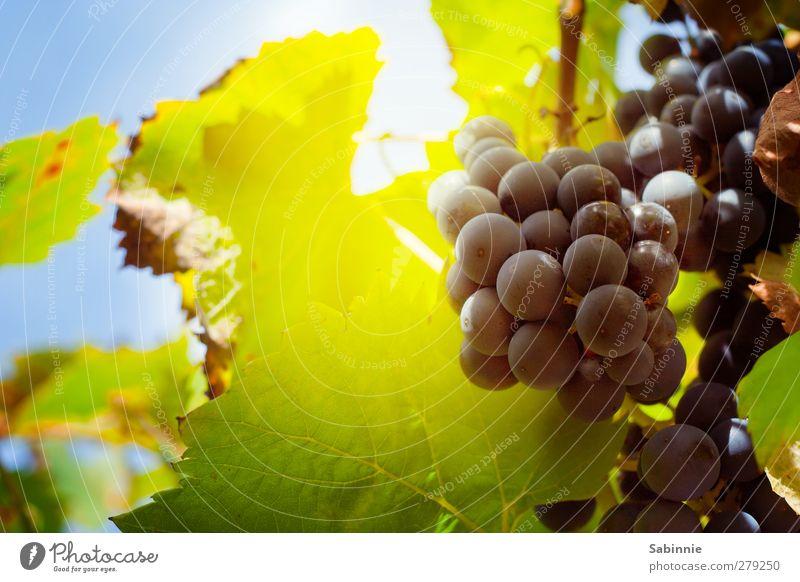 Fränkischer Weinberg #04 Umwelt Natur Landschaft Himmel Sonne Sommer Klima Schönes Wetter Pflanze Nutzpflanze Weintrauben Weinblatt Feld saftig blau gelb grün