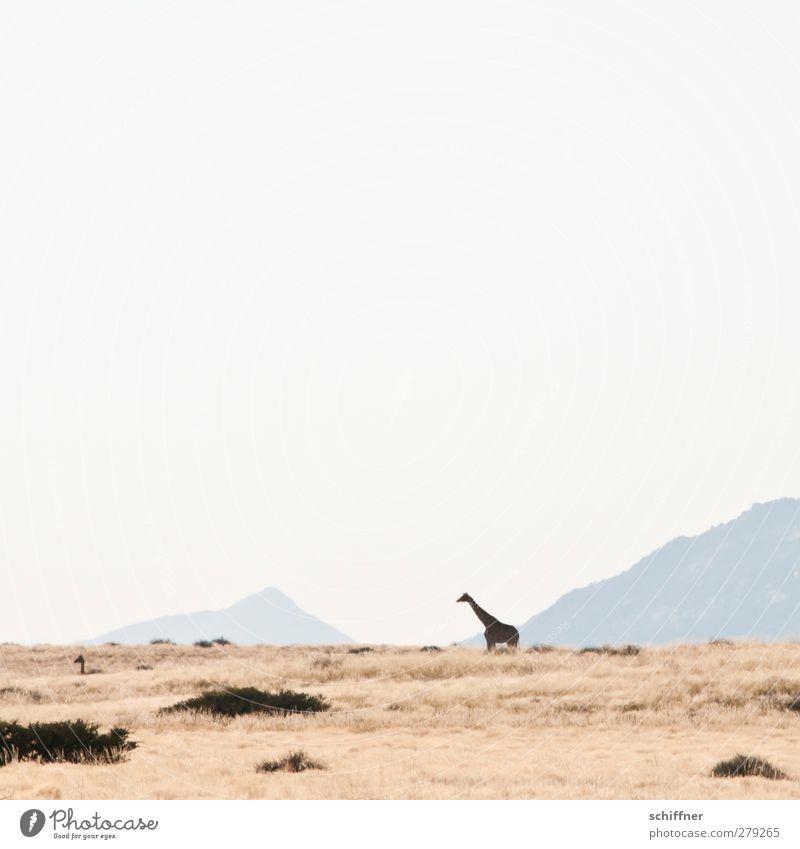 Wüstenwegweiser Natur Tier Landschaft Ferne Umwelt Berge u. Gebirge Wildtier groß stehen Tiergruppe Schönes Wetter Wüste Wolkenloser Himmel Herde Dürre Steppe