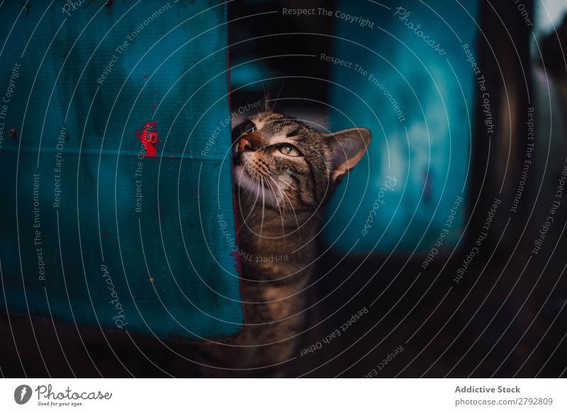 Schmutzige Katze auf blauer Box Straße Tier Irrläufer Haustier Pelzmantel Katzenbaby Jugendliche niedlich Säugetier schön Stadt Chechaouen Marokko heimisch