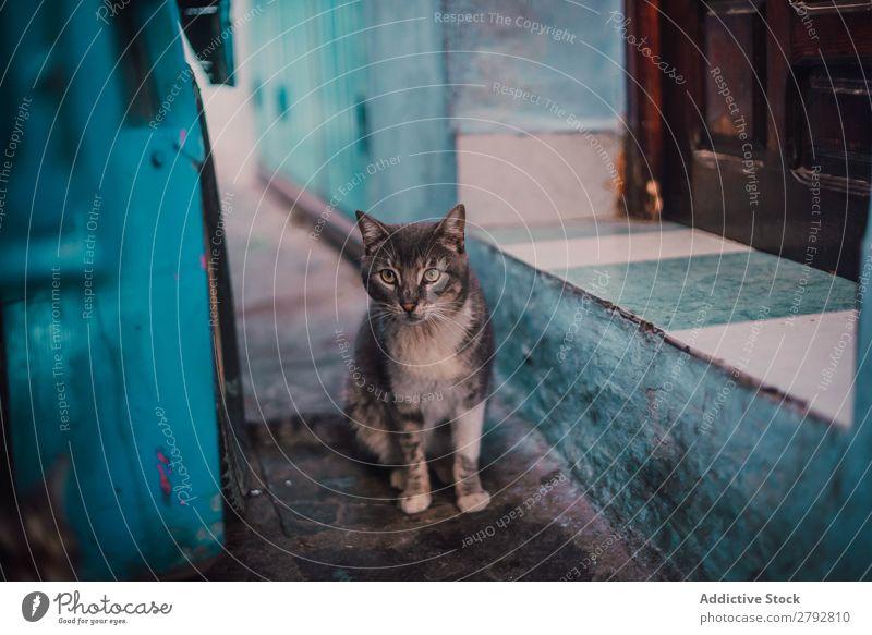 Katze, die auf die Kamera auf der Straße schaut. Tier Irrläufer Haustier Pelzmantel Katzenbaby Jugendliche niedlich Säugetier schön Stadt Chechaouen Marokko