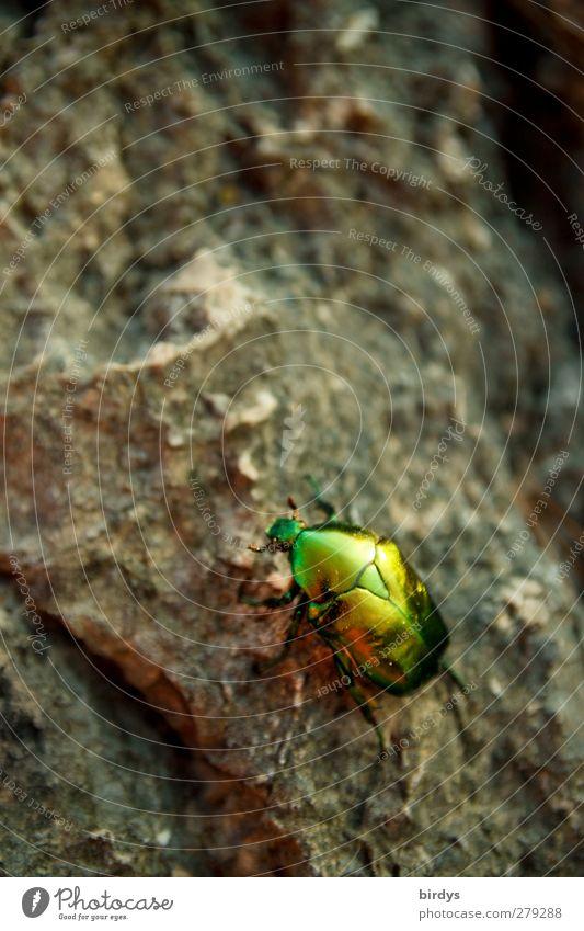 frisch aufpoliert Natur grün Farbe Tier grau Stein Felsen glänzend leuchten ästhetisch niedlich Insekt exotisch Käfer schillernd Rosenkäfer