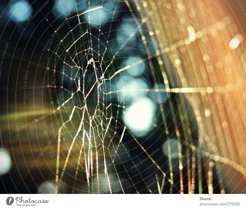ein netz voll abendsonne Natur Spinnennetz Arbeit & Erwerbstätigkeit fangen warten dünn authentisch eckig elegant fantastisch glänzend hell natürlich schön