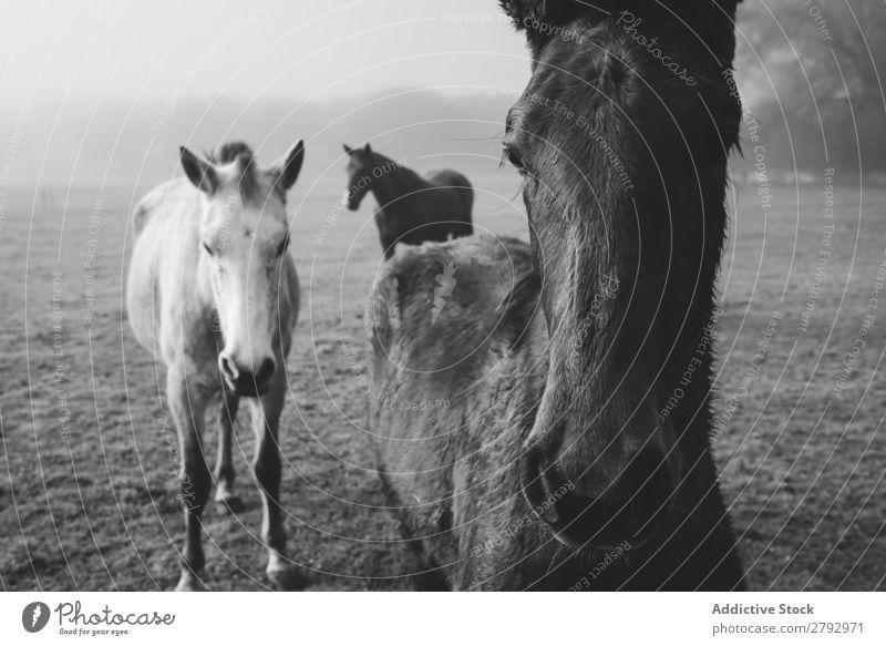 Pferde auf der Wiese im Nebel Tier Feld pferdeähnlich Licht dunkel schön Säugetier Mähne Stute züchten Ponys heimisch Gras Kopf Pferdestall Bauernhof wunderbar