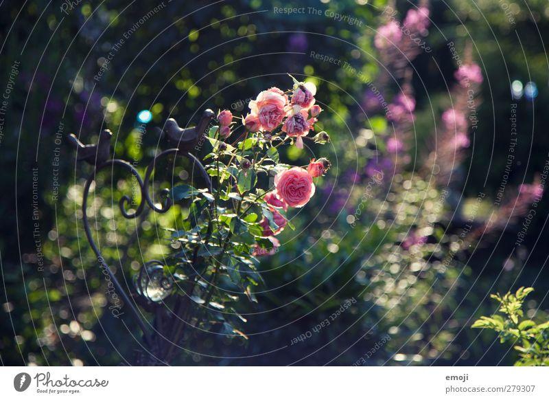 roses Natur Pflanze Blume Landschaft Umwelt Frühling Park rosa natürlich Sträucher Rose
