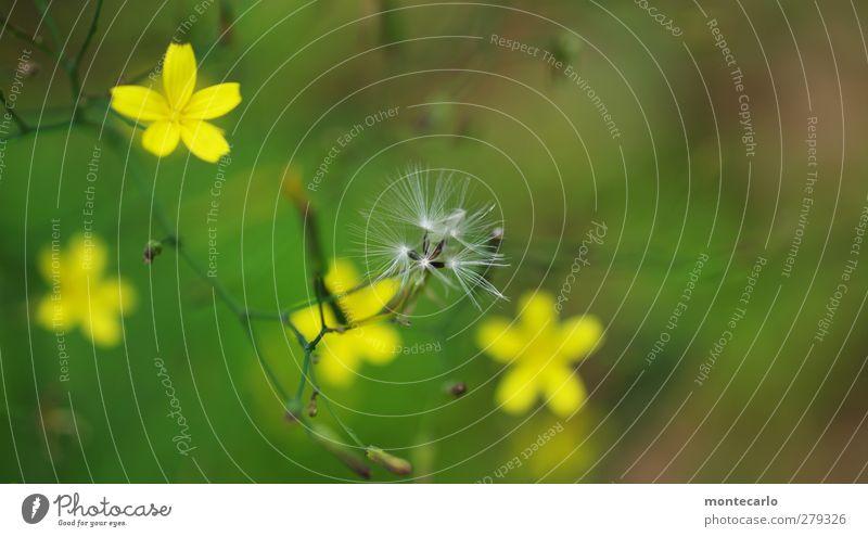 Feinheiten... Umwelt Natur Pflanze Sommer Schönes Wetter Sträucher Blatt Blüte Grünpflanze Wildpflanze dünn authentisch einfach frisch natürlich wild weich gelb