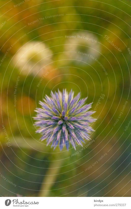 Blaublütige Kugeldistel Pflanze Sommer Schönes Wetter Distel Distelblüte Blühend Duft leuchten ästhetisch exotisch positiv rund schön stachelig blau violett