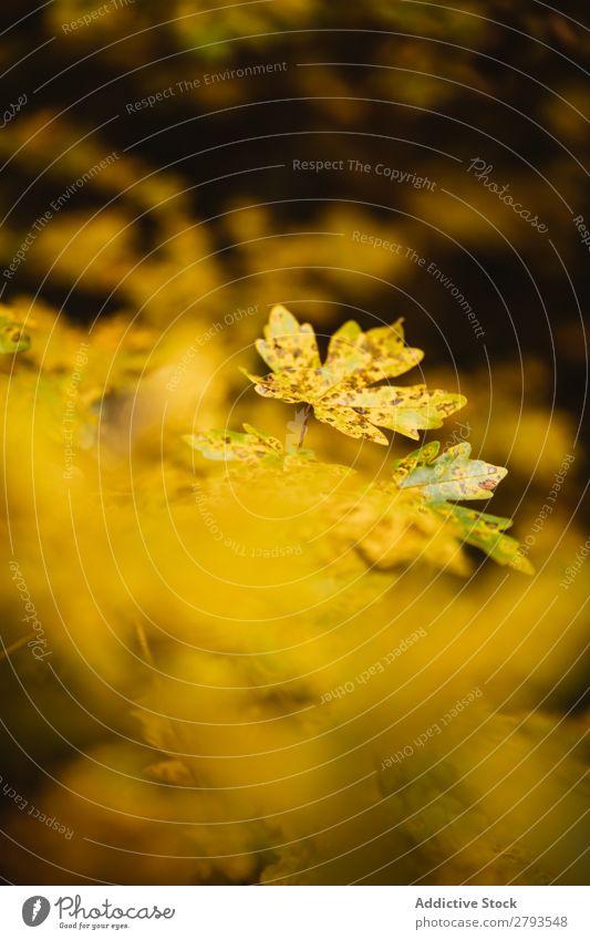 Hintergrund der Herbstblätter Blatt Hintergrundbild gelb Natur Farbe Jahreszeiten Muster mehrfarbig Saison Konsistenz Nahaufnahme Außenaufnahme Pflanze hell