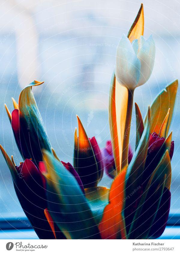 weiße Blume Tulpe Blumenstrauß bunt Kunst Natur Pflanze Frühling Sommer Herbst Winter Blatt Blüte Blühend leuchten schön mehrfarbig gelb grün violett orange