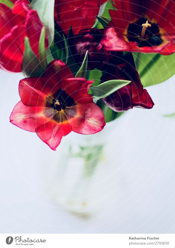 Blumen rote Tulpen Blumenstrauß Frühlingsgruß Kunst Natur Pflanze Sommer Herbst Winter Blatt Blüte Blühend leuchten ästhetisch braun gelb gold grün orange