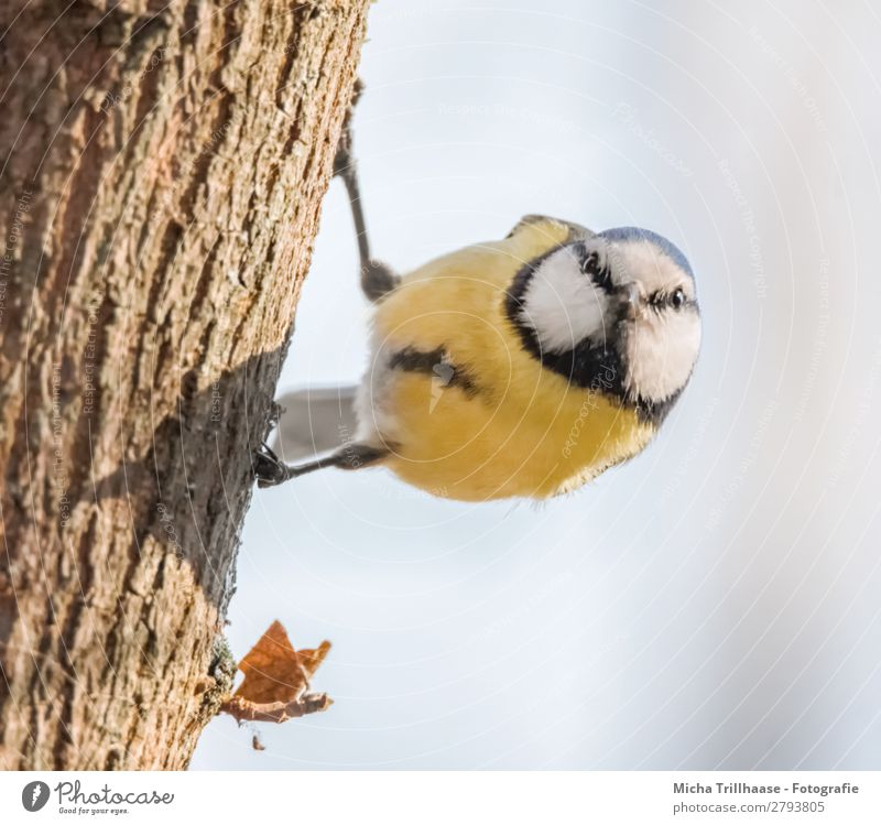 Neugierige Blaumeise Himmel Natur blau weiß Baum Tier schwarz gelb Auge natürlich orange Vogel Wildtier Feder Schönes Wetter Flügel