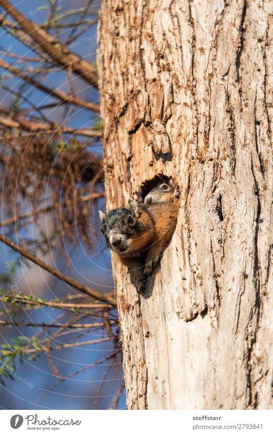 Baby Fuchs Eichhörnchen Set Sciurus niger Mutter Erwachsene Natur Tier Baum Wildtier 2 Tierjunges schlafen niedlich braun Baby Eichhörnchen Fuchshörnchen