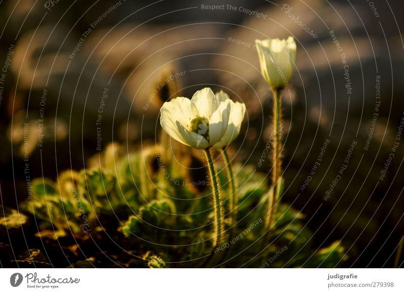 Island Natur schön Pflanze Blume Umwelt klein Blüte natürlich wild Wachstum