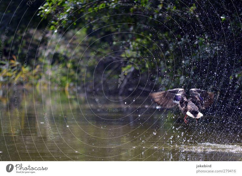 Abflug Wasser Wassertropfen Sommer Seeufer Flussufer Teich Flügel Ente Stockente 1 Tier fliegen Natur spritzen Abheben Beginn Farbfoto Außenaufnahme