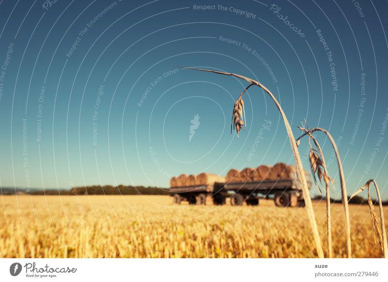Strohmänner Lebensmittel Getreide Umwelt Natur Landschaft Himmel Horizont Sommer Schönes Wetter Feld authentisch natürlich blau gelb Wachstum Strohballen
