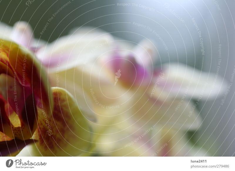 Blüte Pflanze Frühling Blume Orchidee Topfpflanze exotisch grün rosa Farbfoto Außenaufnahme Makroaufnahme Menschenleer Unschärfe