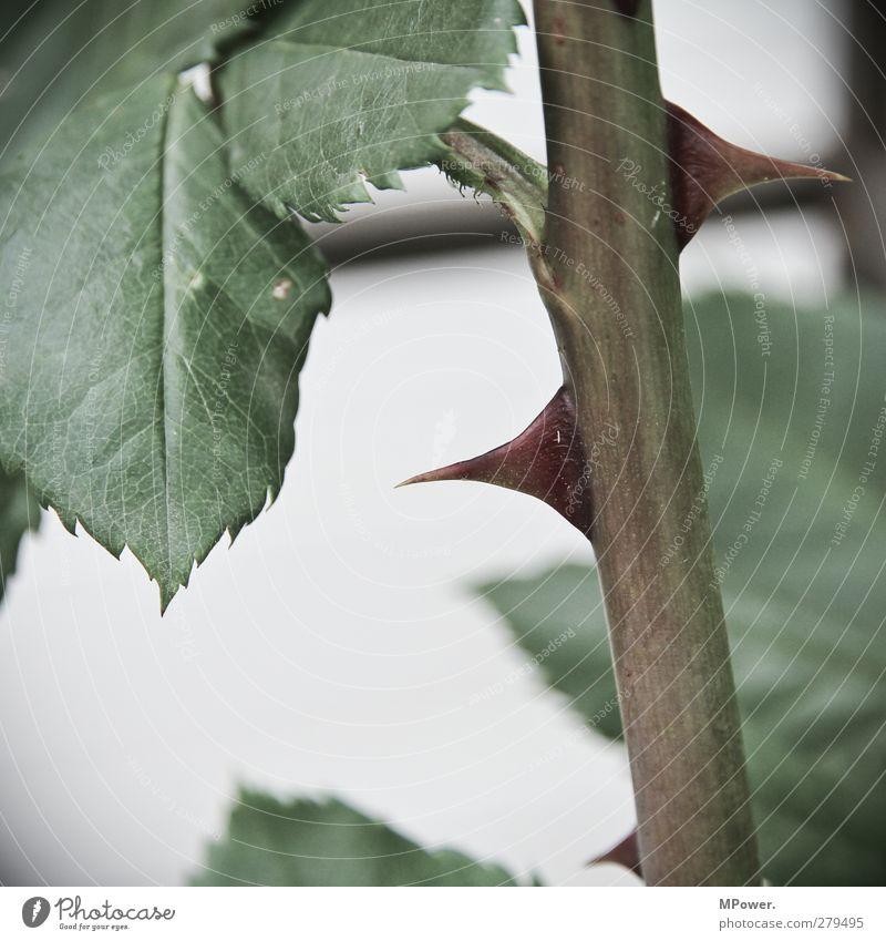 selbstverteidigung Pflanze grün Rose Dorn Stengel Blatt Nahaufnahme Spitze Schmerz Schutz Stachel Garten stechend Gedeckte Farben Selbstverteidigung