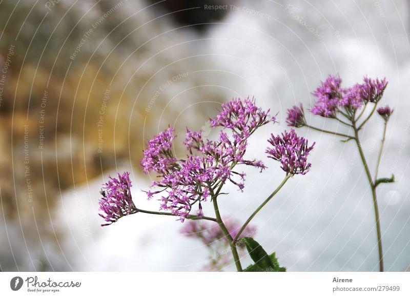 Wohnen am Wasserfall Natur Wasser weiß schön Pflanze Blume Wachstum Freundlichkeit violett Blühend zart Bach Schlucht Wasserfall bescheiden dezent