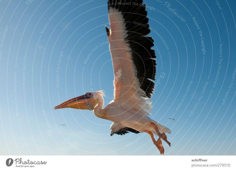 Tiefflieger Natur Himmel nur Himmel Wolkenloser Himmel Tier Wildtier Vogel 1 fliegen Pelikan Flügel Spannweite Schnabel Walvisbay Namibia Farbfoto Außenaufnahme